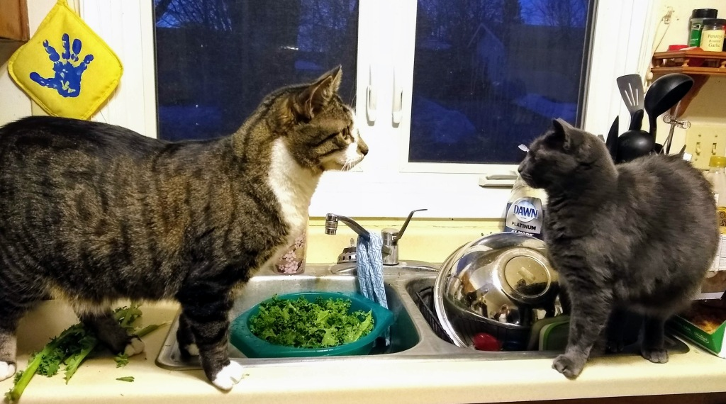 On the left, a large male brown tabby cat with white paws and chest stands on a kitchen counter in front of a colander filled with shredded kale, facing a small grey female cat that is backing away from him.